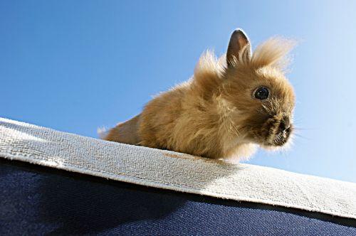 rabbit brown animal