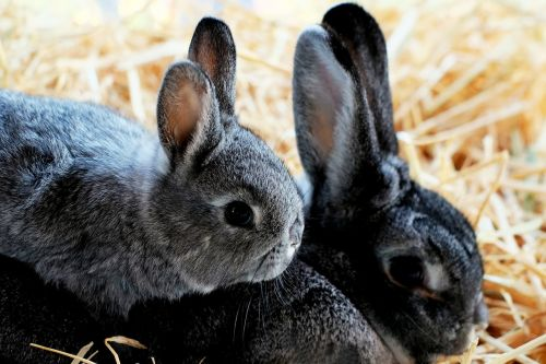 rabbit child doe