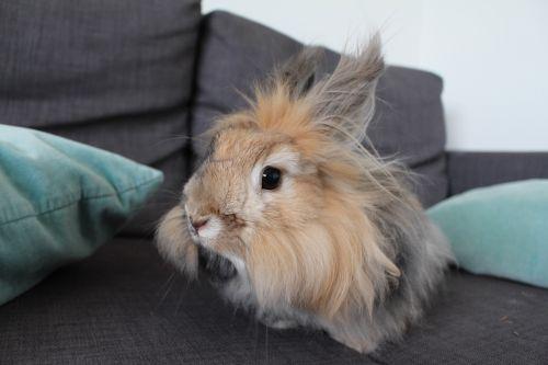 rabbit angora rabbit japanese rabbit