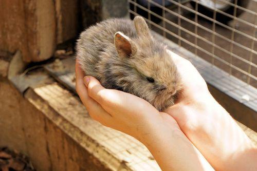 rabbit hare pet