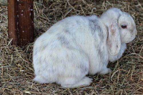 rabbit dwarf rabbit hare