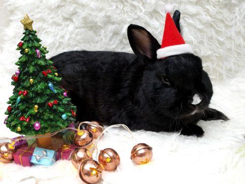 rabbit hare munchkins