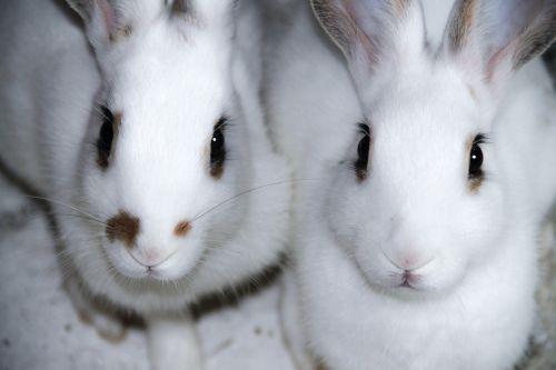 rabbit white rabbit rabbits