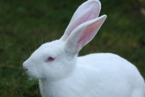 rabbit white ears big