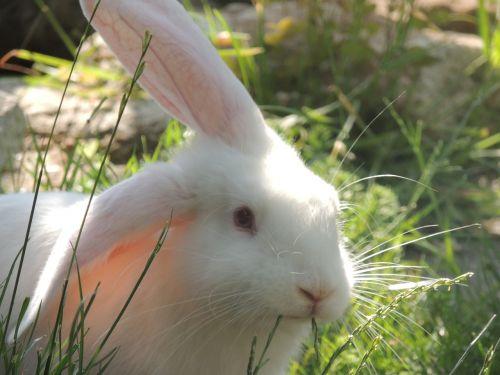 rabbit innocent grass