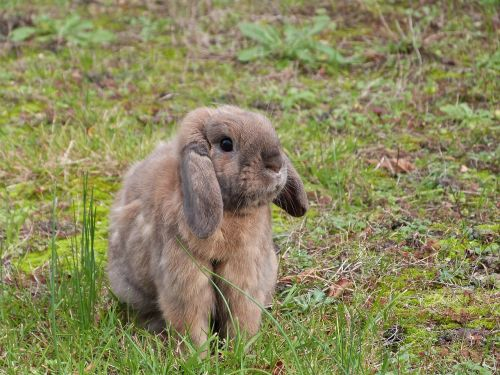 rabbit lop ears