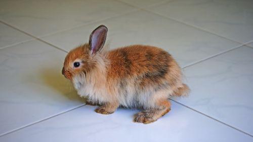 rabbit brown rabbit pet
