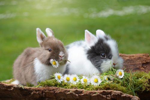 triušis,Velykos,kiškis,žinduolis,gamta,Velyku Triusis,pavasaris,linksmų Velykų,kailis,žolė,graužikas,skubėti,mielas,ausys,nager,gyvūnas,nykštukas triušis