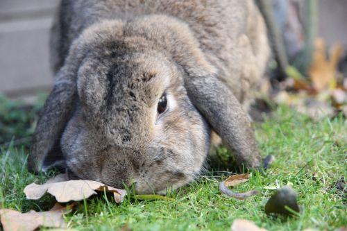 rabbit dwarf aries brown