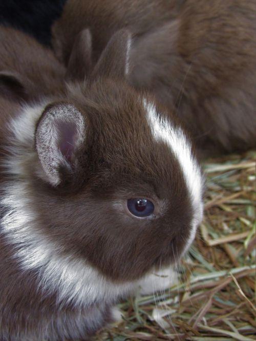 rabbit netherland dwarf cute
