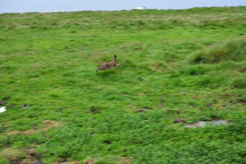 rabbit hare ireland