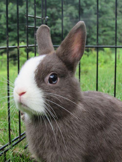 rabbit bunny netherlands dwarf