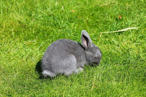 rabbit grey floppy ear