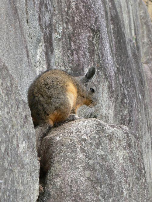 rabbit ucayali peru