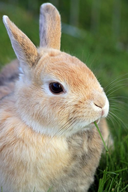 rabbit dwarf rabbit dwarf bunny