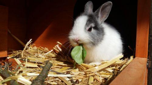 rabbit dwarf rabbit color dwarf