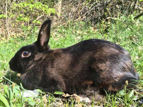 rabbit bunny nero