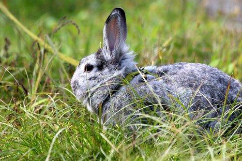 rabbit  a pet rabbit  gray rabbit