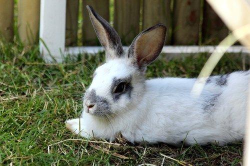 rabbit  a pet rabbit  white rabbit