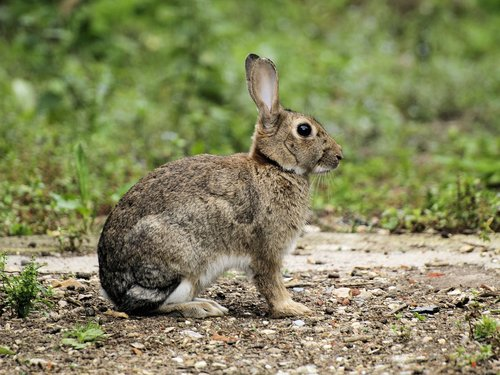 rabbit  wildlife  sitting