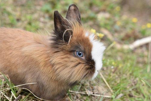 rabbit  dwarf rabbit  herbivore