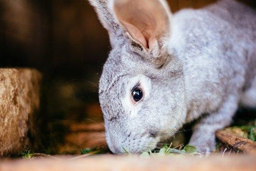 rabbit  little rabbit  hare