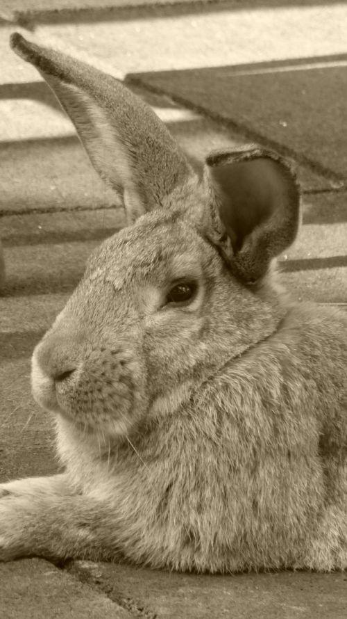 rabbit hare animal