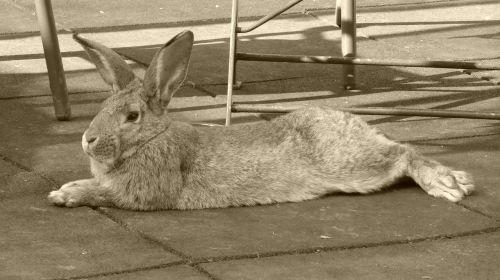 rabbit animal hare