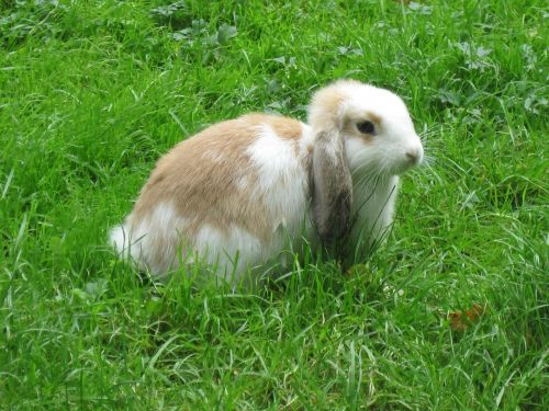 rabbit dwarf rabbit hare