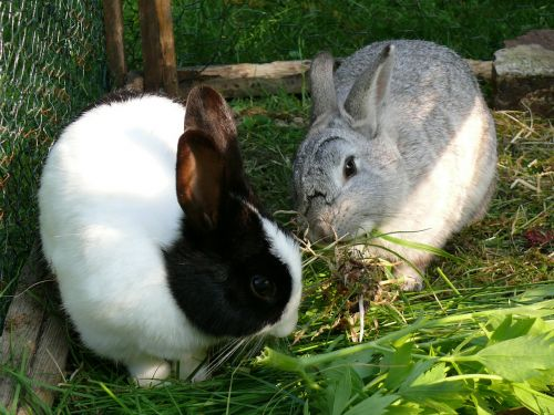 rabbit dwarf rabbit pet