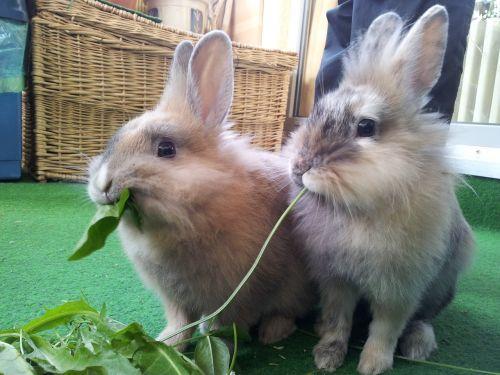 rabbit animal dwarf bunny