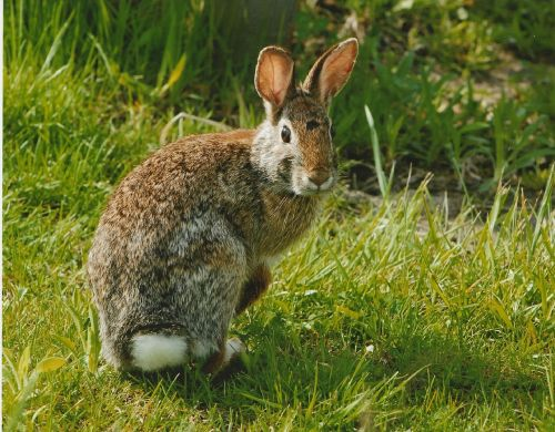 rabbit cottontail eastern