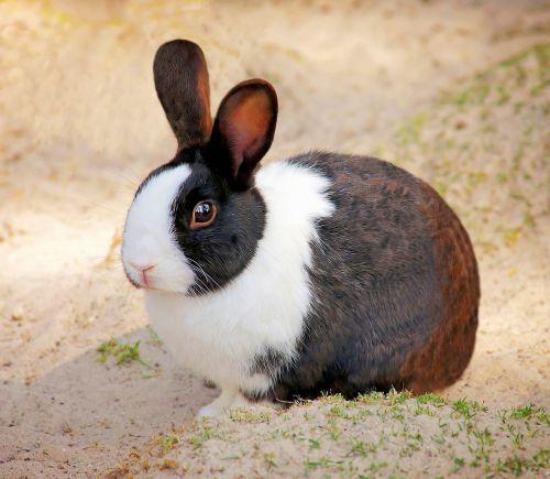 rabbit pet small animal