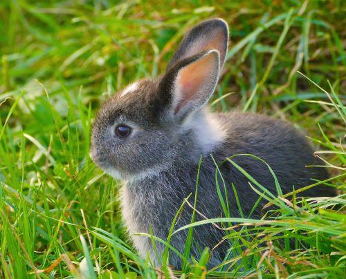 rabbit breeding bull ears