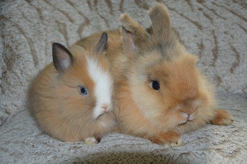 rabbits  dwarf rabbits  male rabbit