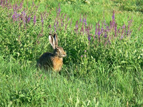 rabbits animal field