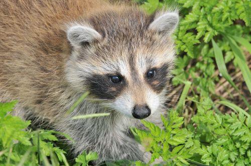 raccoon baby raccoon animal