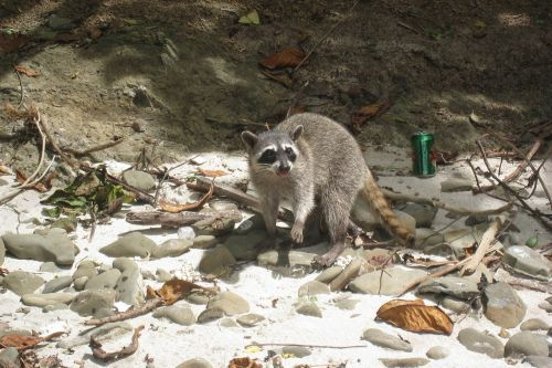 raccoon beach costa rica