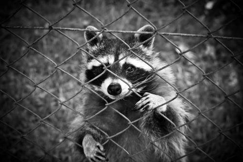 raccoon animal animal world