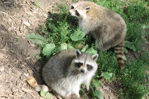 raccoon mammal animal