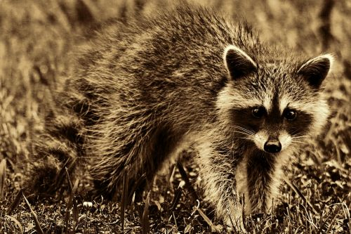 raccoon animal mammal
