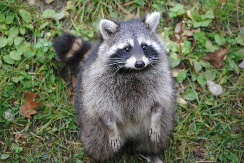 raccoon animal cheeky