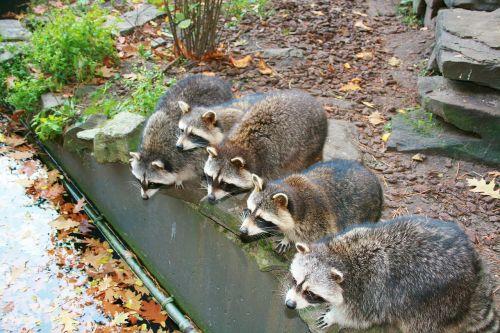 raccoon mammal drinking raccoons