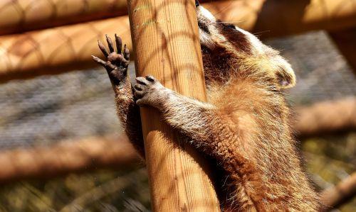 raccoon wild animal furry