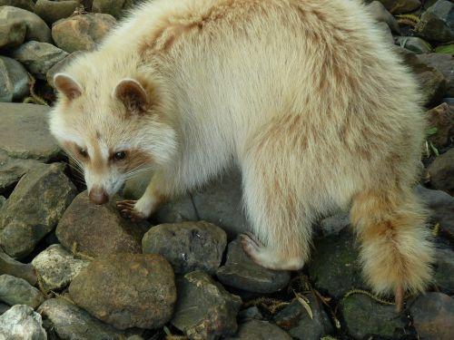 raccoon stone zoo