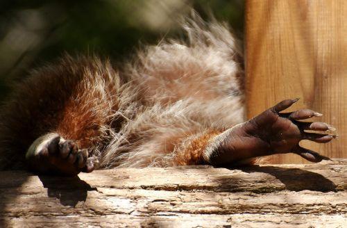 raccoon feet concerns