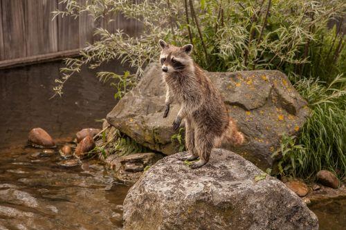 raccoon animal water