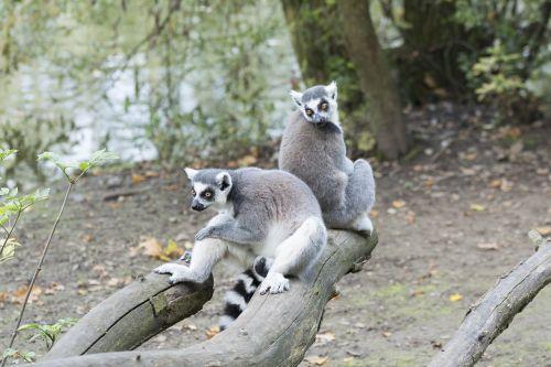 raccoon raccoons zoo