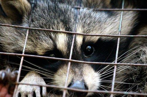raccoon  procyon lotor  raccoon gargle