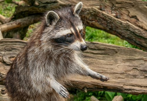 raccoon  animal  nature